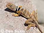 Great Basin collared lizard, Crotaphytus insularis bicinctores